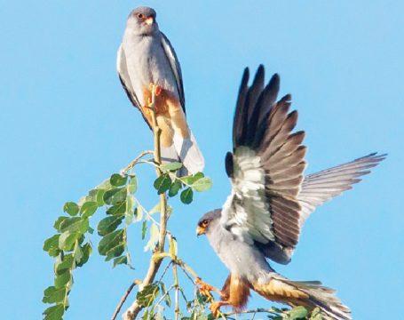 amur-falcon-nagaland.jpg